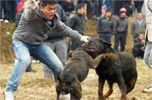 中國鬥狗盛行暴露人性殘忍貪婪