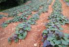 紅薯葉不僅能吃居然還有這等奇效!