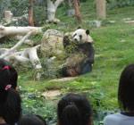 中央赠送澳门新一对大熊猫亮相