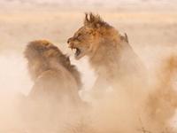 雄獅爭奪公園霸主地位 大打出手