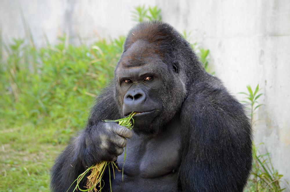 【 大公报讯】据英国《每日邮报》报道:日本动物园最近有只大猩猩