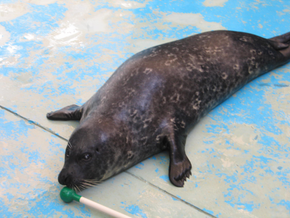 图:动物监督指,海豹Rose变得更活泼好动 /大公报实习记者陈进摄   【大公报讯】实习记者陈进报道:海洋公园今年三月成功为一隻雌性海豹的右眼进行白内障移除手术,创海园为海洋哺乳类动物做白内障移除手术先河,亦是第一次应用混合技术。混合技术大大缩短动物康復时间,并令该海豹重见光明。   21岁雌性港海豹Rose于九年前发现患有白内障,视力逐渐下降,直到上年接近完全失明。今年三月,Rose接受混合式白内障移除手术,以恢復清晰视力。医护人员使用混合技术时,会在海豹的眼球开一个切口,然后利用超声波仪器乳化眼