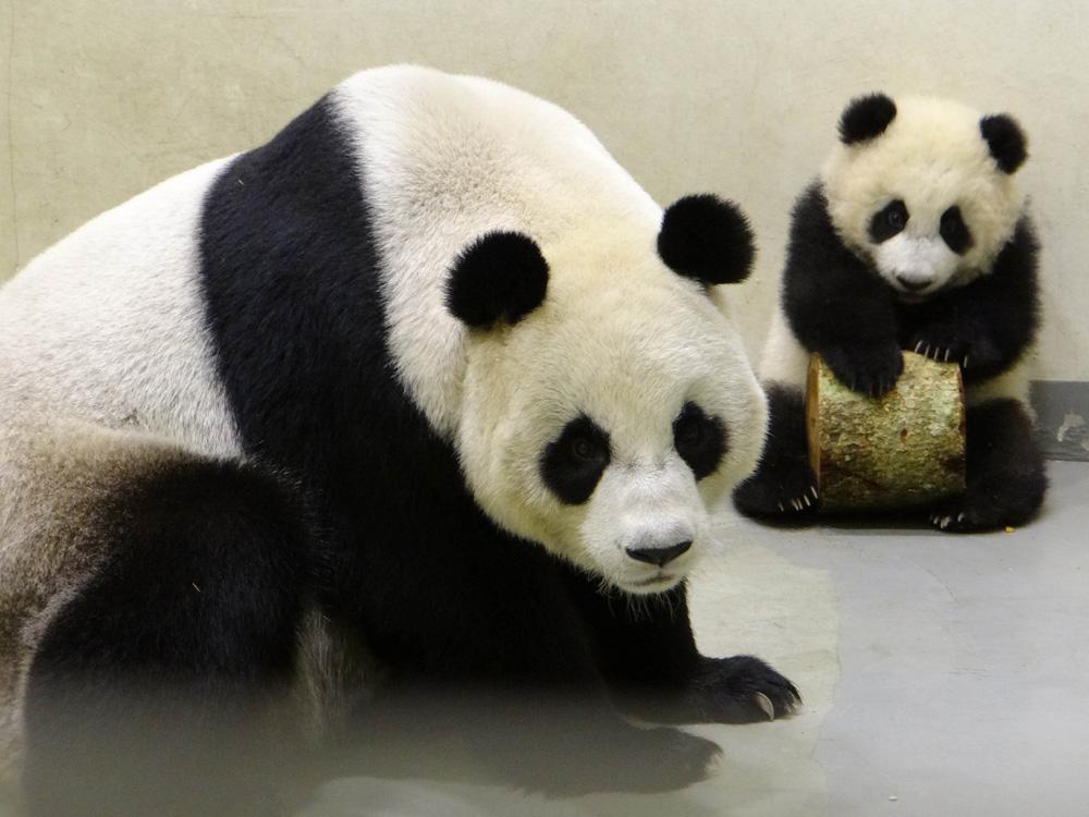 关于动物的资料熊猫