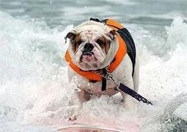 冲浪大赛选手是小狗