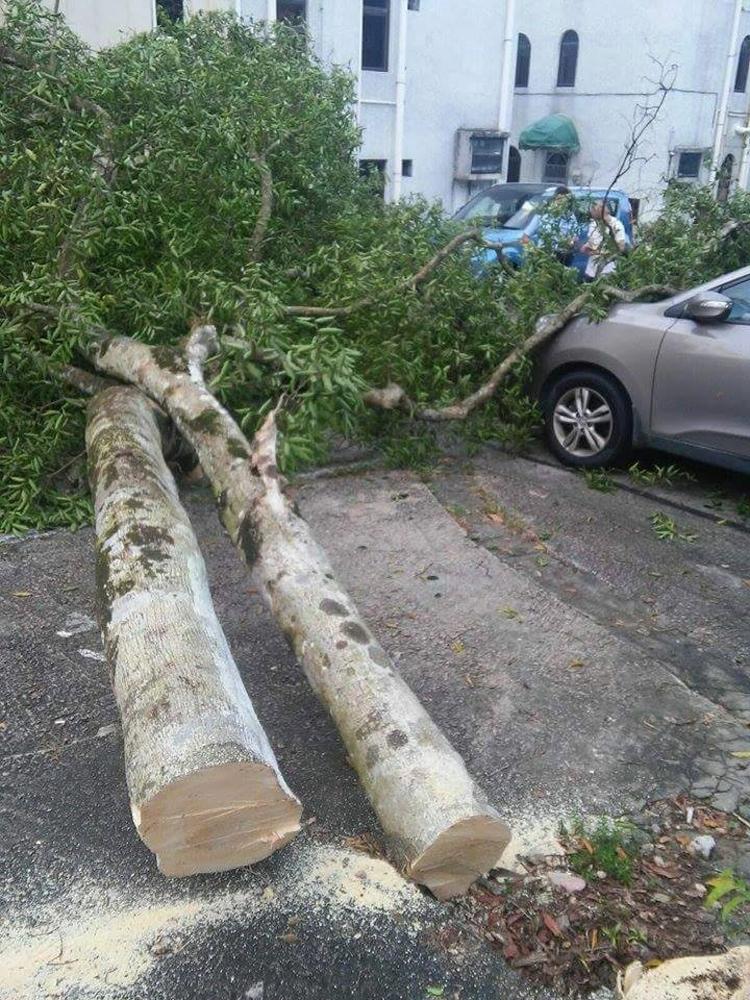 斩树党锯断10米高沉香树