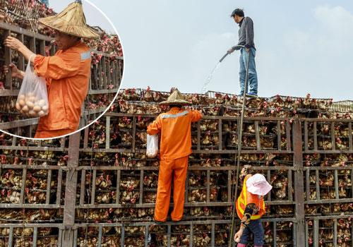 車主澆水給活雞降温 清潔工爬上貨車撿雞蛋