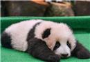 中国旅马大熊猫宝宝亮相 呆萌模样惹人爱