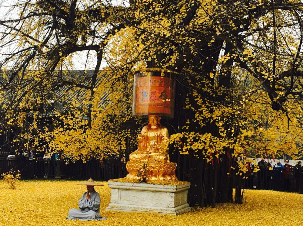 西安罗汉洞村观音禅寺内有一棵千年银杏树