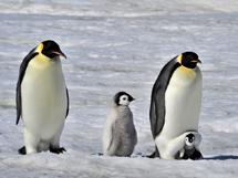 气候变化致麦哲伦企鹅数量减少