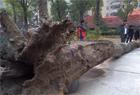 鄱阳湖挖出巨型乌木 重达6吨