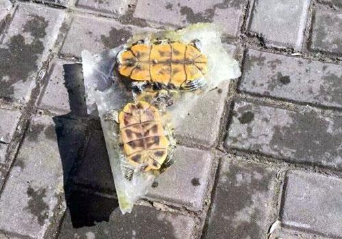 寒潮來襲 烏龜結冰