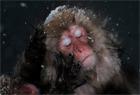 雪猴泡温泉 表情销魂