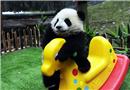 熊猫宝宝贺新春 上演组团卖萌大戏