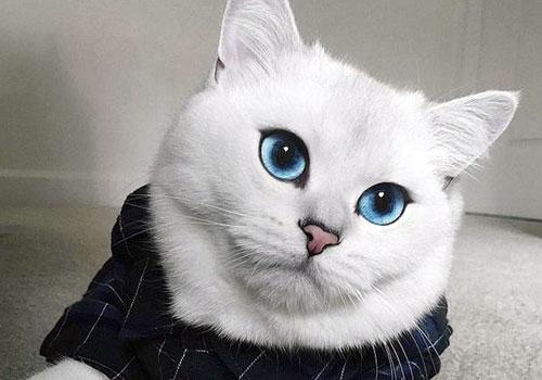 英国蓝眼美猫爆红网络
