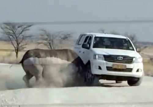非洲犀牛全速衝撞滿載遊客汽車