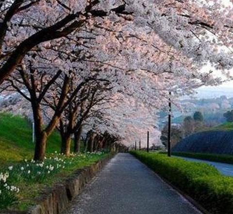 """樱花季来了 如何像当地人一样""""花见""""?"""