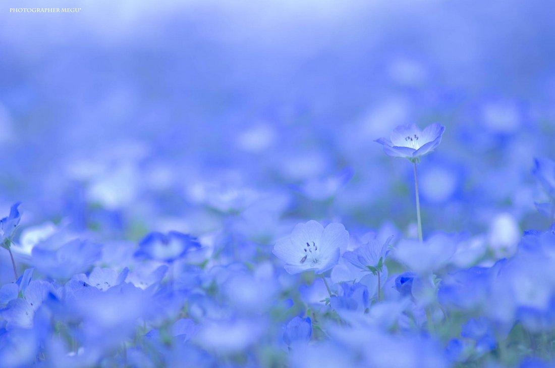 除了賞櫻花 去日本我們還可以去看粉蝶花海