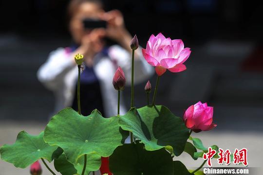 参观者拍摄展出的莲花。 泱波 摄