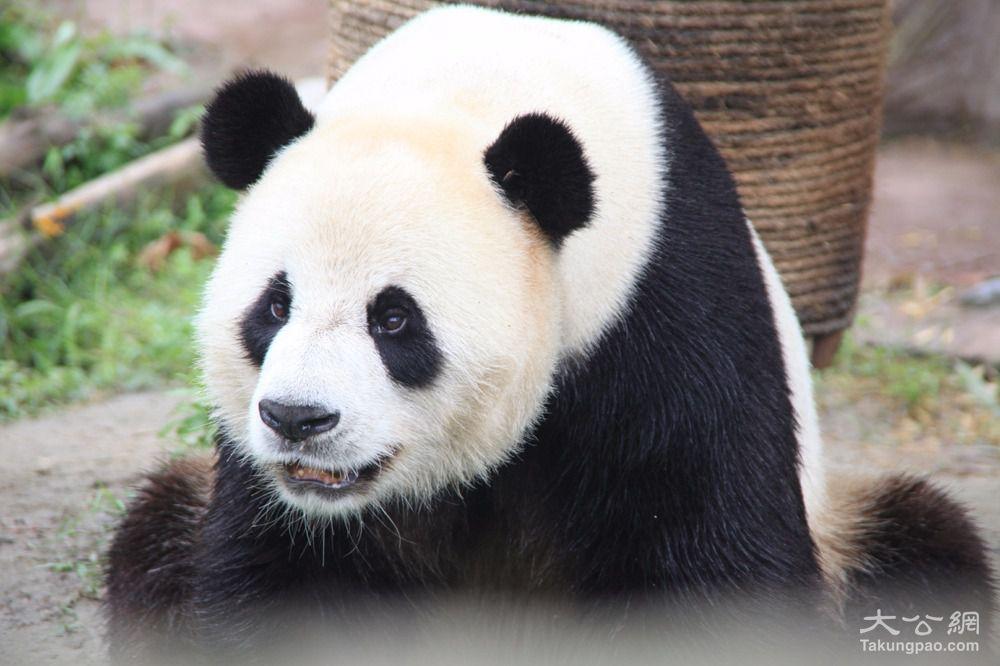 大熊猫的到来为黑龙江省添加了一张靓丽的名片