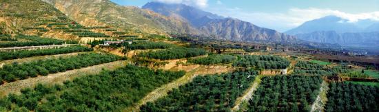 封加平介绍,油橄榄是世界四大木本油料树种之一,素有植物油皇后的