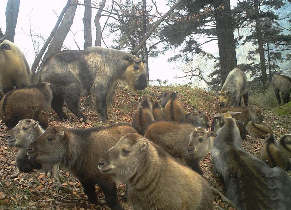 """相机拍到罕见画面——森林王国中的野生羚牛""""幼儿园"""""""
