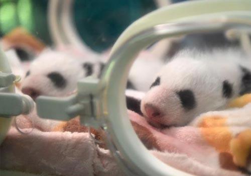 重庆动物园新生双胞胎大熊猫首次亮相