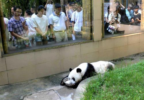 """台湾青年在福州与大熊猫""""亲密""""接触"""