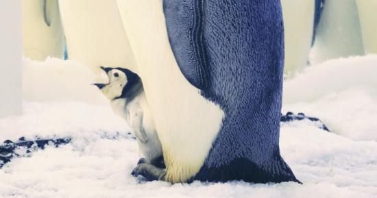 """小企鹅依偎在妈妈身边玩得很开心   生活在长隆海洋王国的帝企鹅们在今年5-6月繁育期内,有八只产下了企鹅蛋,一举创下了帝企鹅在亚洲最低纬度产卵的纪录。8月11日,其中一个蛋成功孵化,成为亚洲最低纬度诞生的首只帝企鹅。好事成双,在8月26日,又有一个蛋成功孵化。初生的两只帝企鹅宝宝被妈妈""""藏""""在自己肚子部位有厚厚绒毛覆盖的孵化袋里精心照顾,把自己吃的食物亲口喂食帝企鹅宝宝,一天喂食4-8次,等到宝宝长到三、四个月时,学会自己吃东西后,妈妈才舍得跟孩子分开。"""