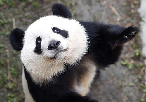旅美大熊猫归国首秀
