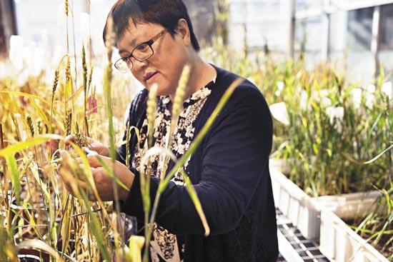 科學之星高彩霞細説小麥改良 基因編輯護航糧產革命