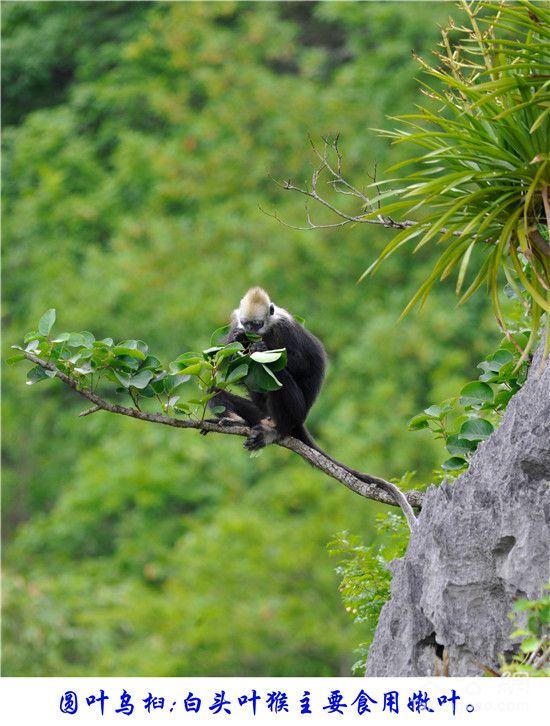 广西白头叶猴:喀斯特山林的黑白精灵【组图】 - 春华秋实 - 春华秋实 开心快乐每一天