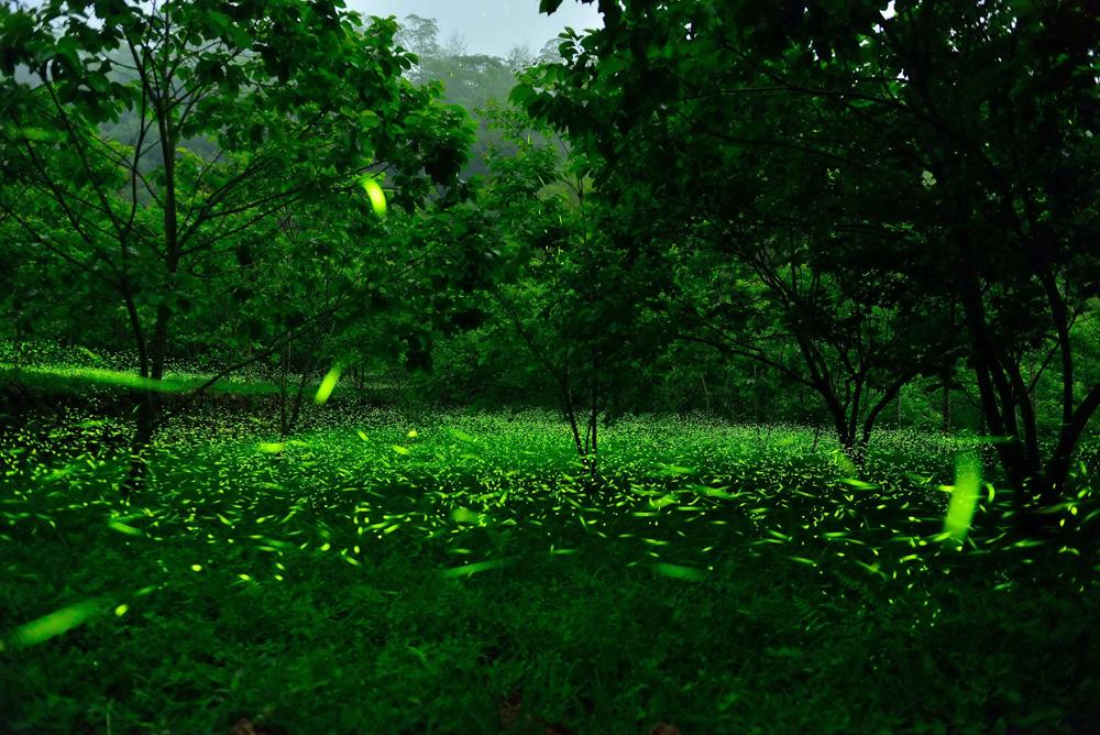 阿里山风景区管理处表示,大阿里山区萤火虫多达42种,约占全台萤火虫种
