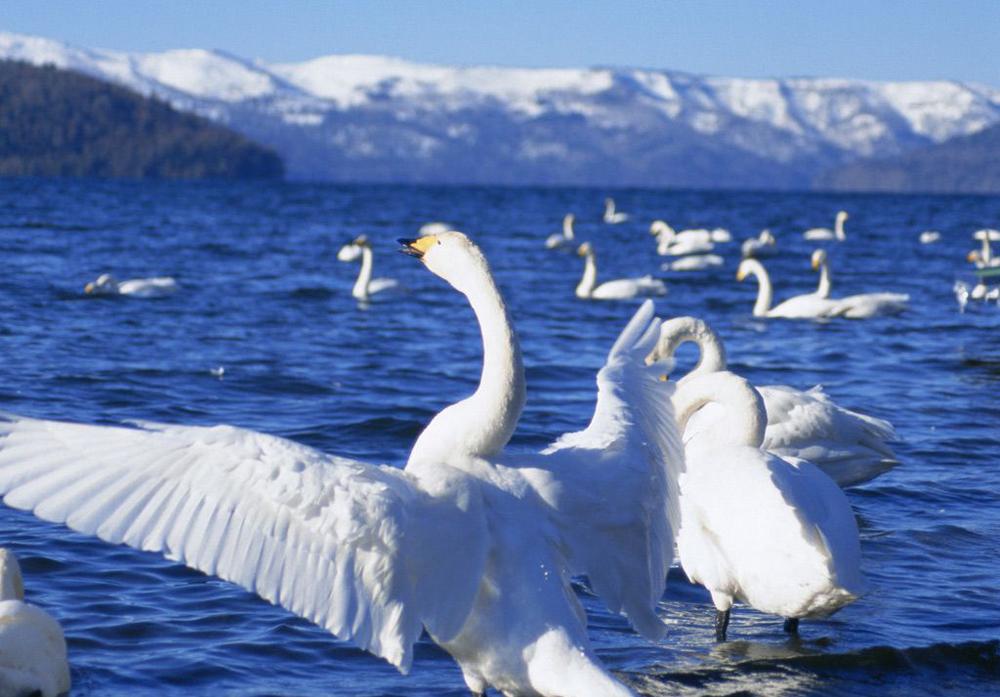 """新疆自然保护区线上""""数""""天鹅"""