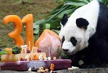 全球最长寿圈养雄性大熊猫