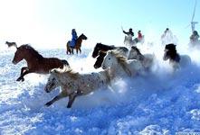 锡林郭勒牧民驯马 场面壮观