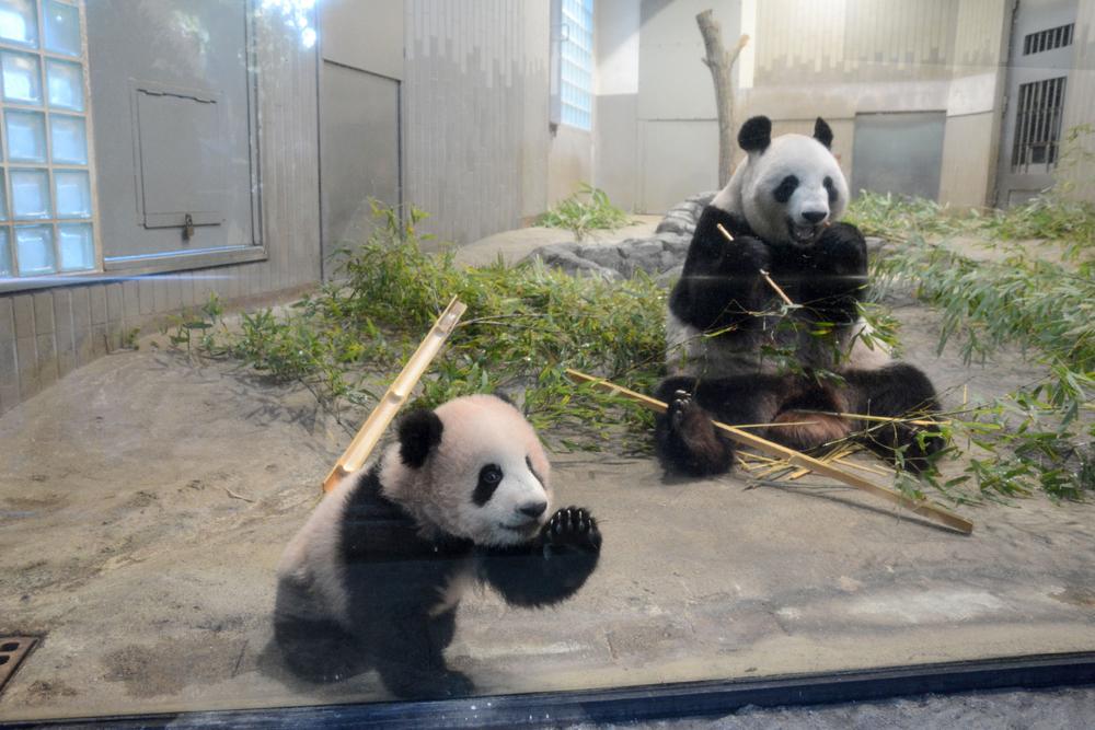 """图:熊猫宝宝""""香香""""(左)与母亲""""真真""""/资料图片   新华社东京1月2日电(记者王可佳 姜俏梅)据日本广播协会电视台2日报道,东京上野动物园将于2018财年开始兴建新熊猫馆,以扩大熊猫的活动范围并增强其繁殖能力。新馆预计将于2020年春竣工。   据报道,新熊猫馆在外观和内饰上将仿照大熊猫的故乡——中国四川省的独特景观进行设计。为了让大熊猫的腰腿得到充分锻炼以提升其繁殖能力,新馆将加入一些高低差式的设计。新馆建成后,室内外总面"""