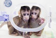 兩隻克隆猴在中國誕生