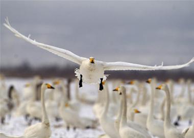 三门峡:天鹅振翅迎飞雪