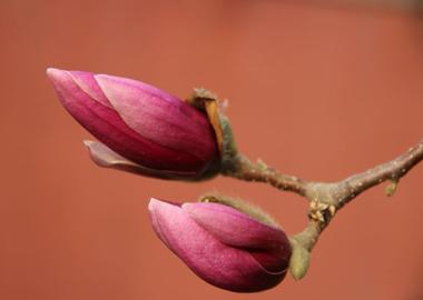 河南寶豐:玉蘭花開春來到