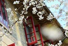 武汉大学樱花绽放