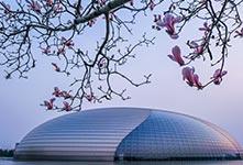 春到京城 玉兰绽放