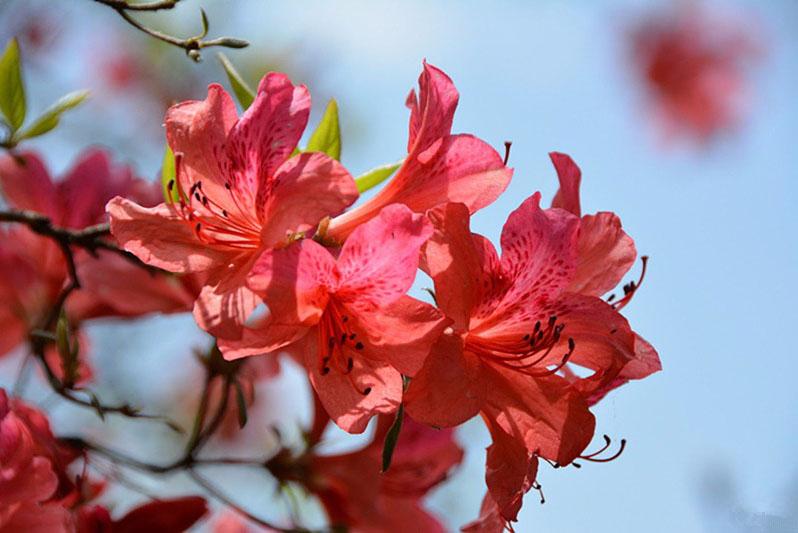 汝陽:西泰山盛開杜鵑花