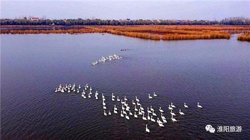 淮陽龍湖迎貴賓 飛臨成群白天鵝